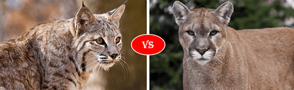 Bobcat vs Mountain lion