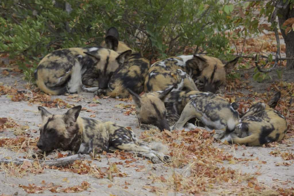 Can African Dogs kill African buffalos and wildebeest?