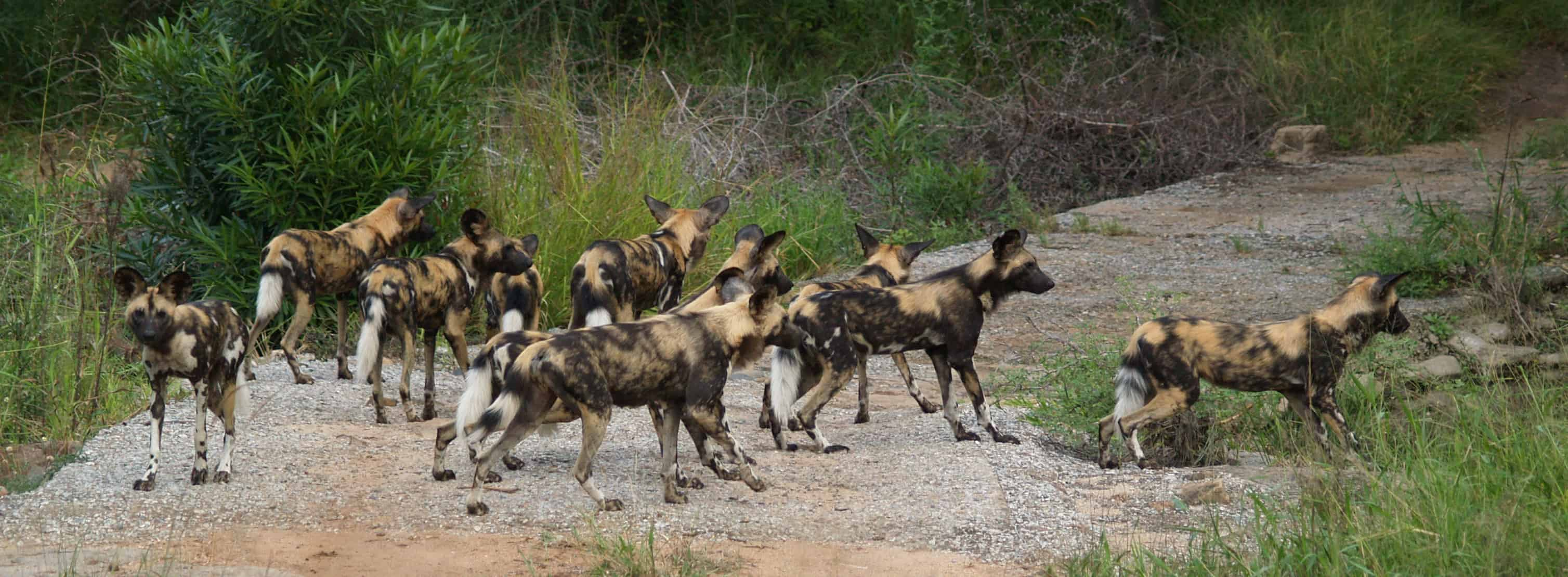 Do African Dogs live in groups?
