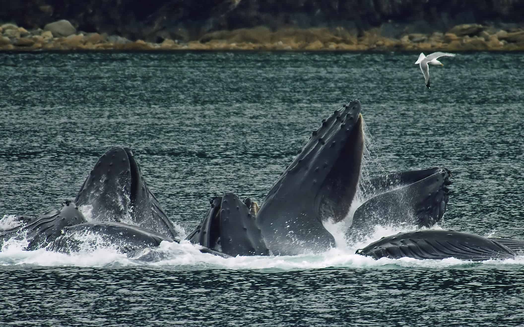 Does Humpback Whale migrate?