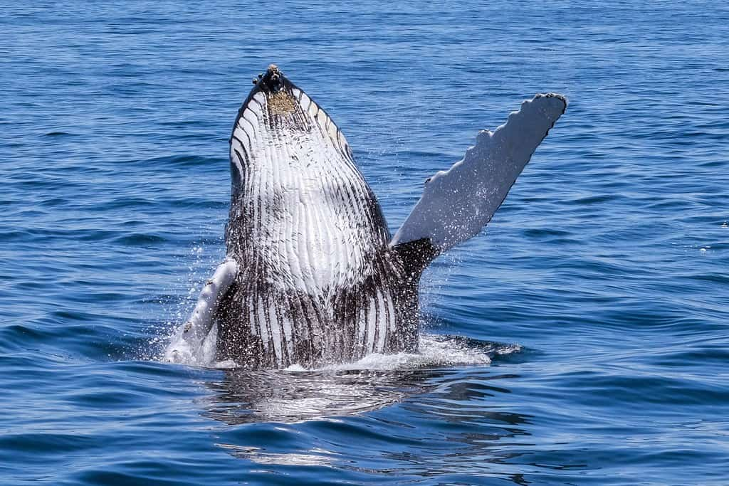 Does Humpback Whale sing?