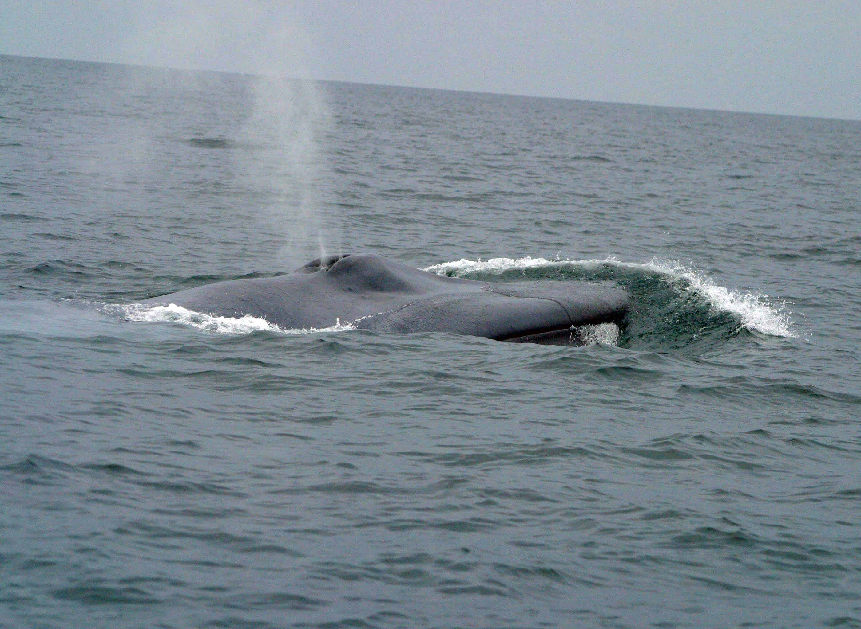 Does a Blue Whale make loud sounds?