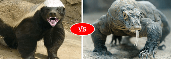 Honey Badger vs Komodo dragon