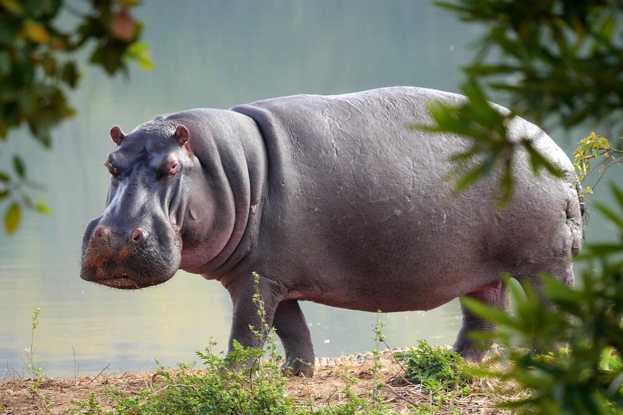How big is a Hippo?