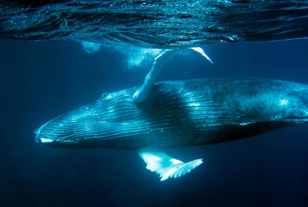How big is a Humpback Whale?