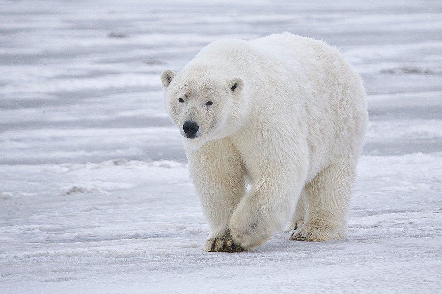 How big is a Polar Bear?