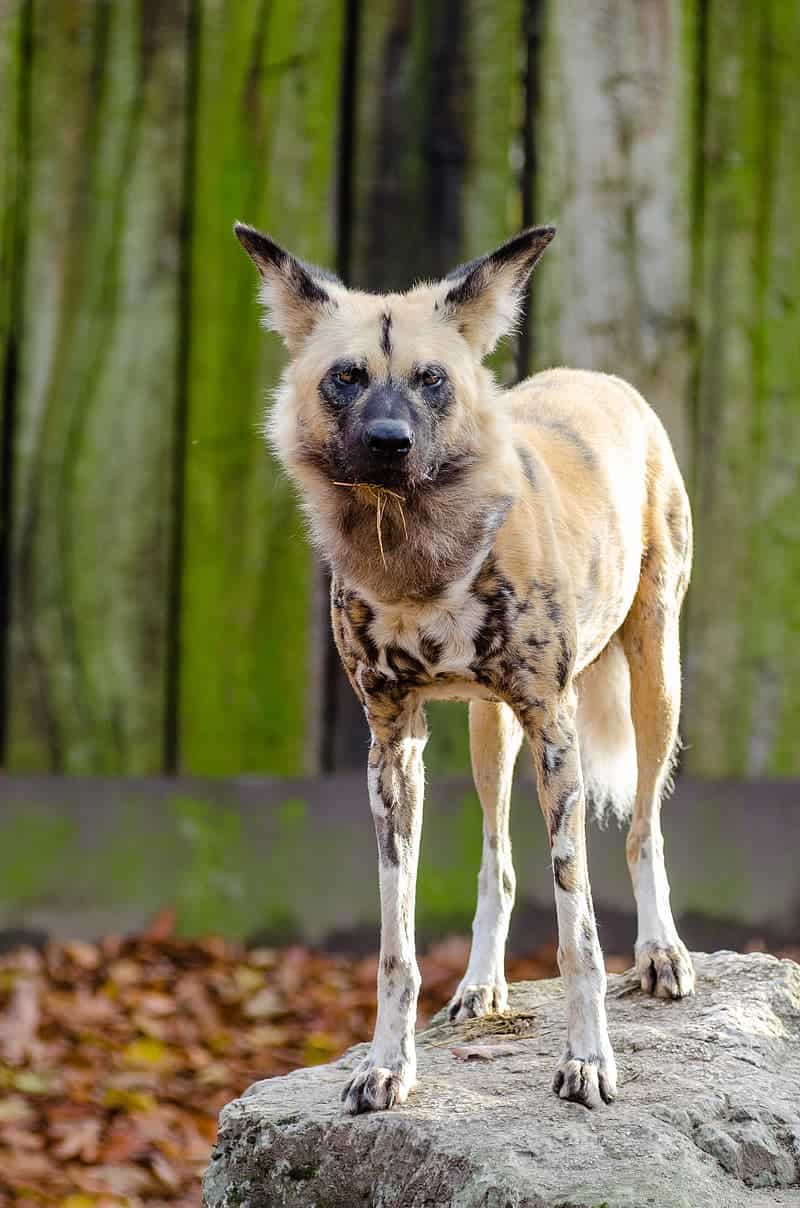 How big is an African Wild Dog