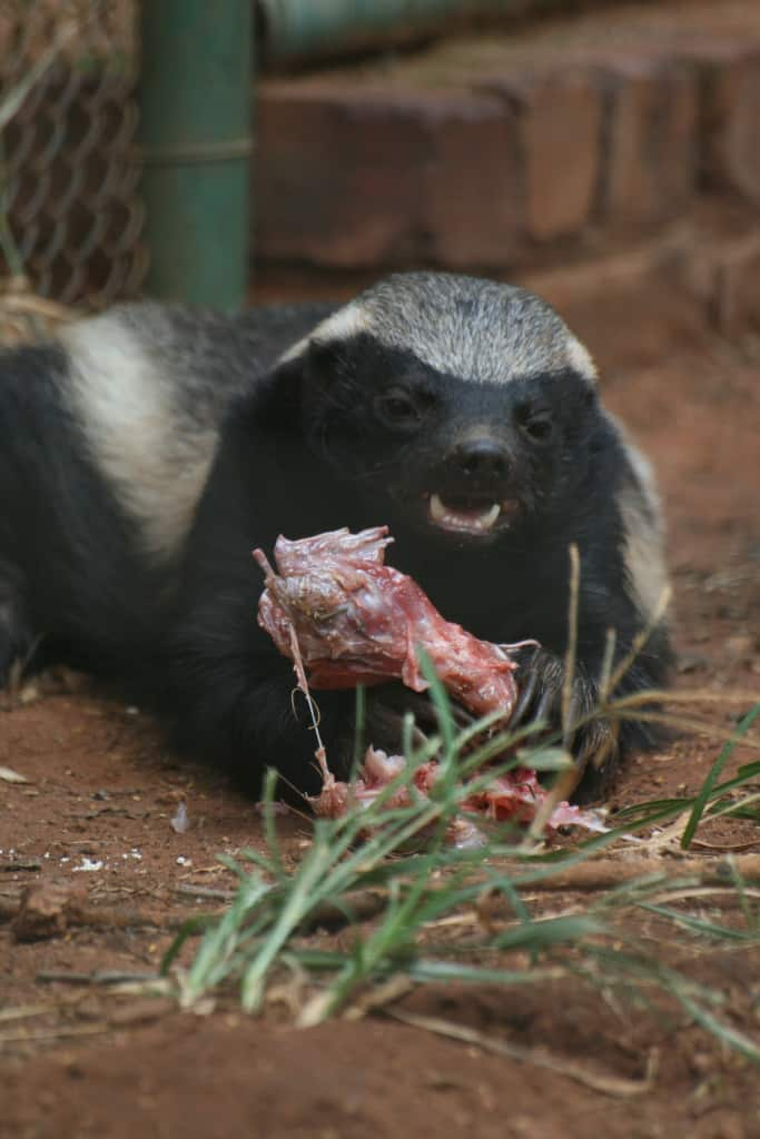 How does Honey Badger fight?