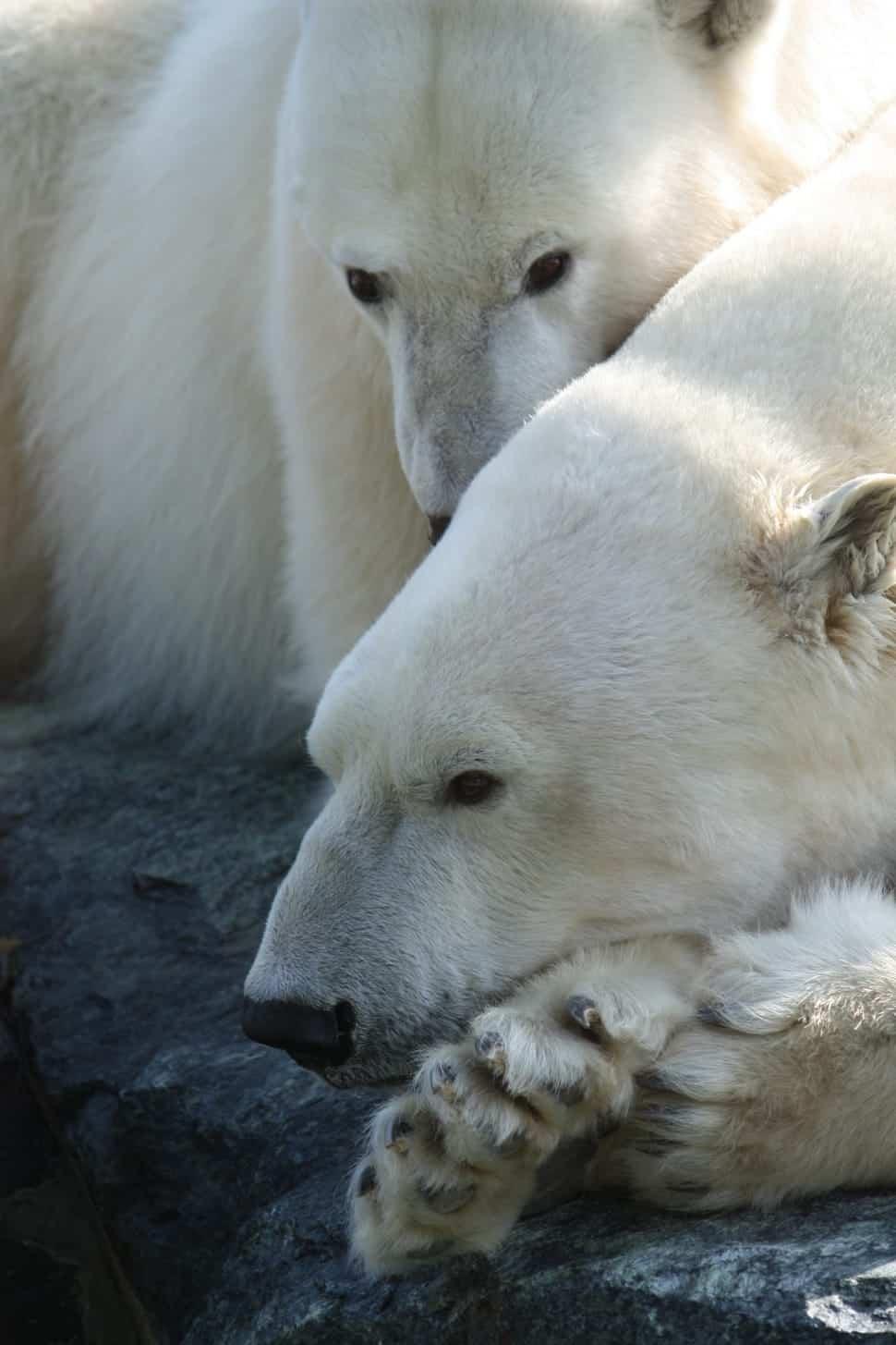 How long does Polar Bear live?