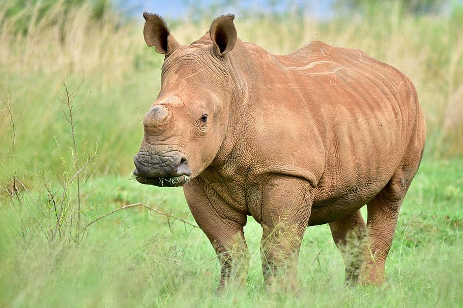 How many species of Rhino are present?