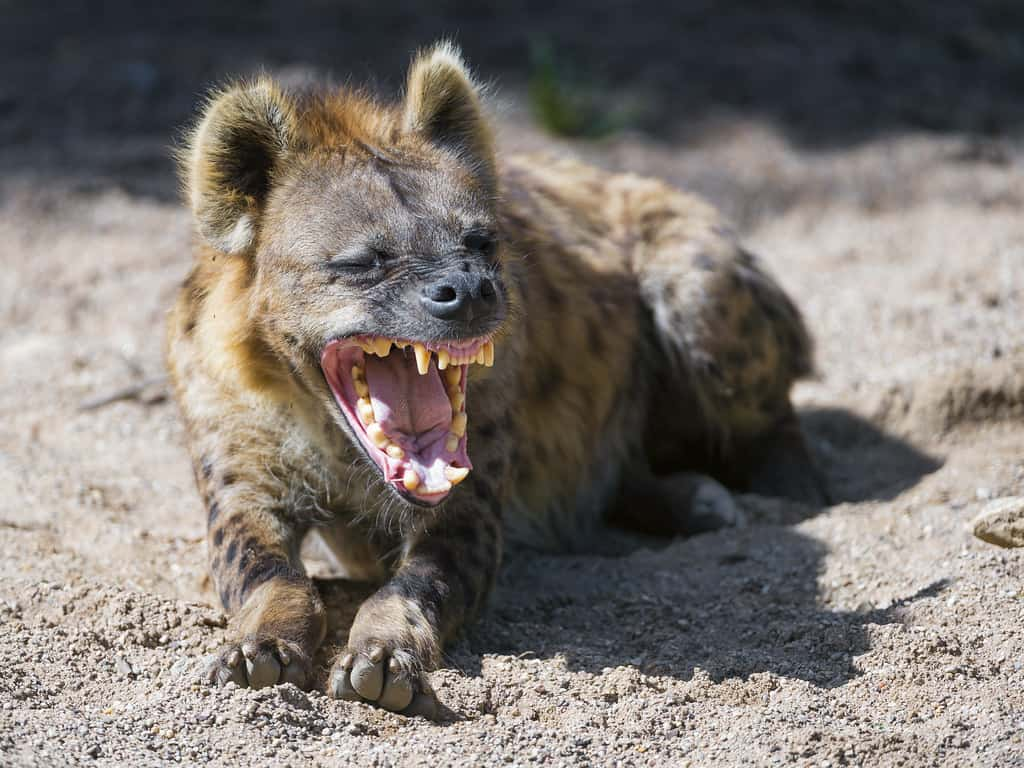 How strong is the bite of a Hyena?