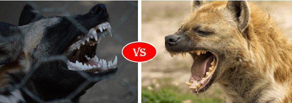 Hyena vs African Dog