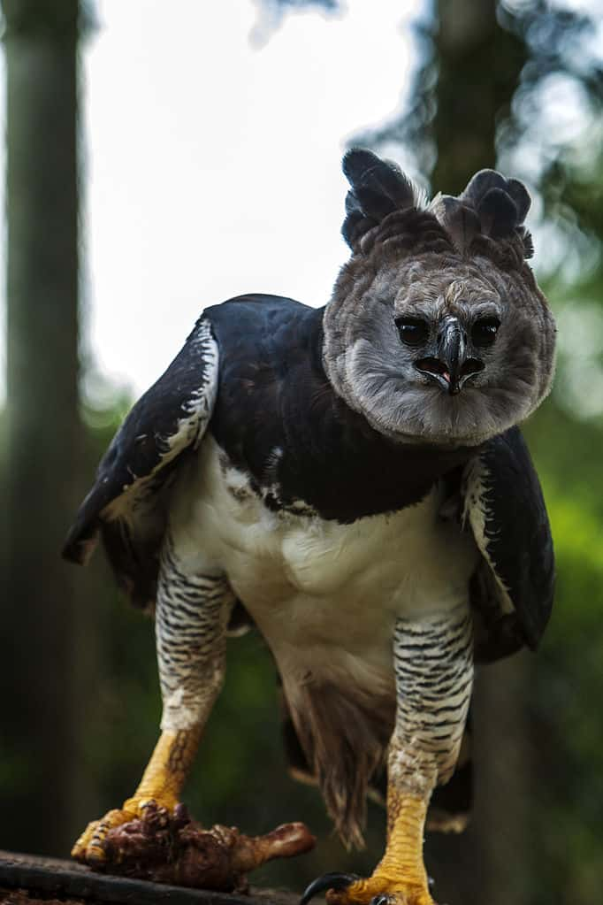 What are some interesting Harpy Eagle Facts?