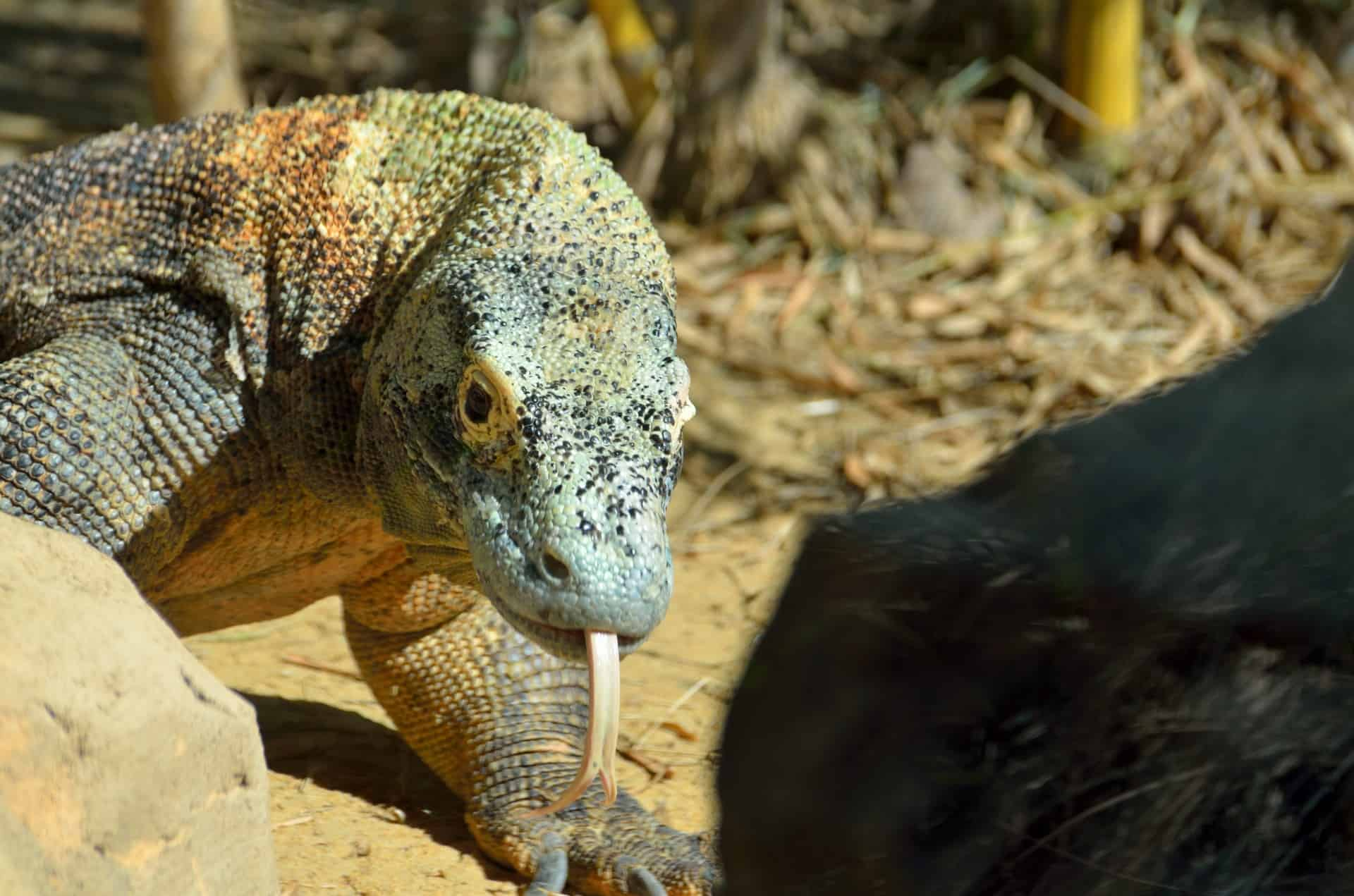 Is the bite of Komodo Dragon poisonous