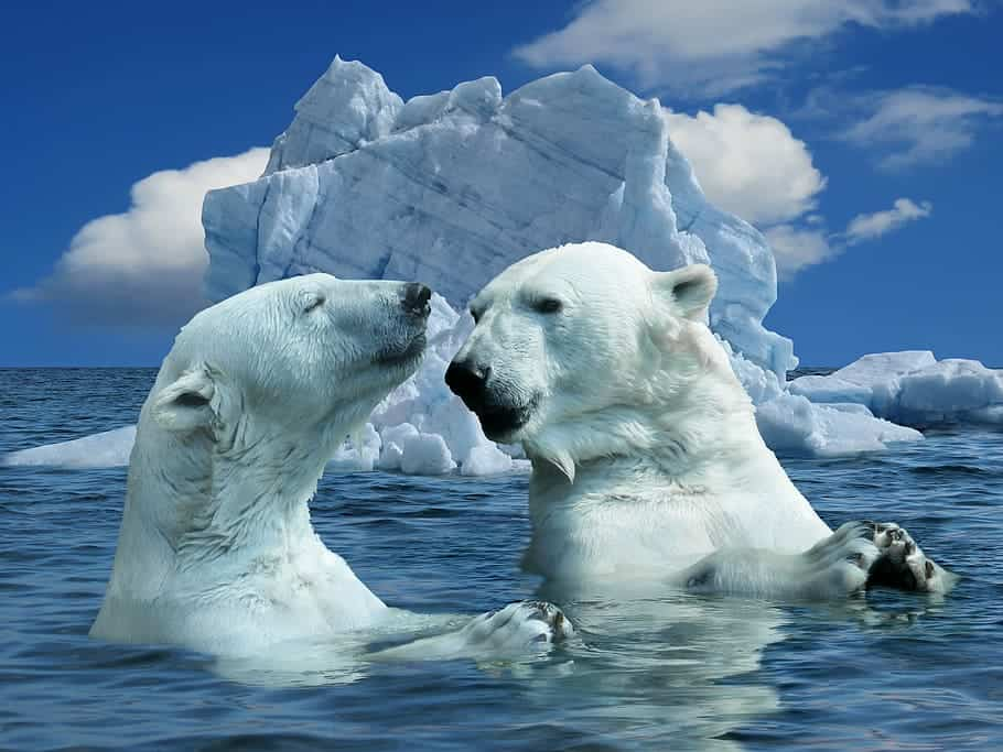 What are some interesting Polar Bear facts?