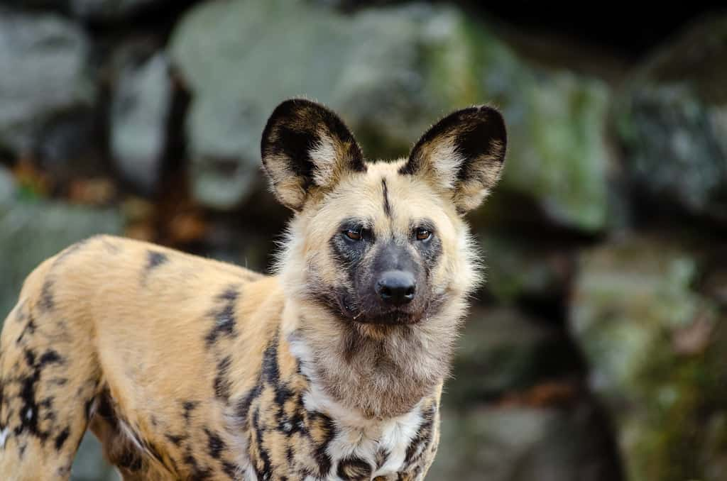 What are some interesting facts about African Wild Dogs?
