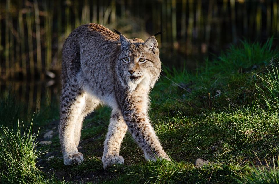 What are some interesting facts about Bobcat?