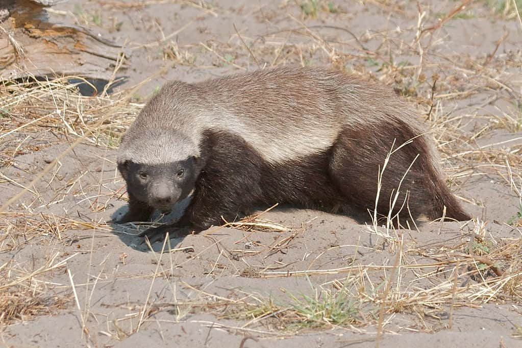 What are some interesting facts about Honey Badger?