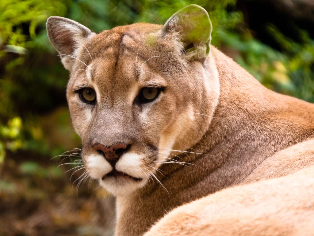 What-are-some-interesting-facts-about-Mountain-Lion-Cougar