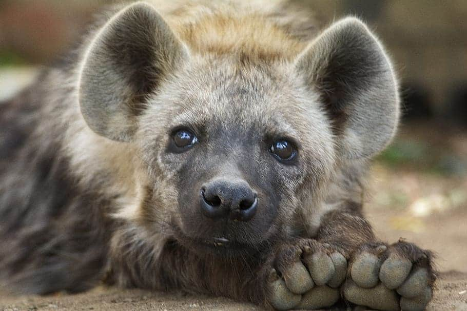 What are the different species of Hyena?