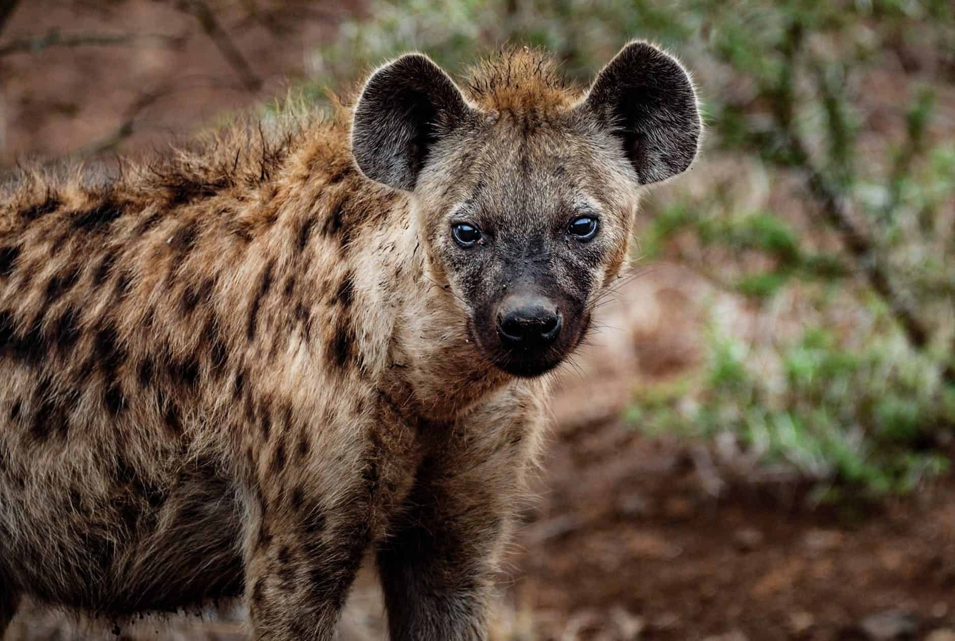 What are the interesting facts about Hyena?