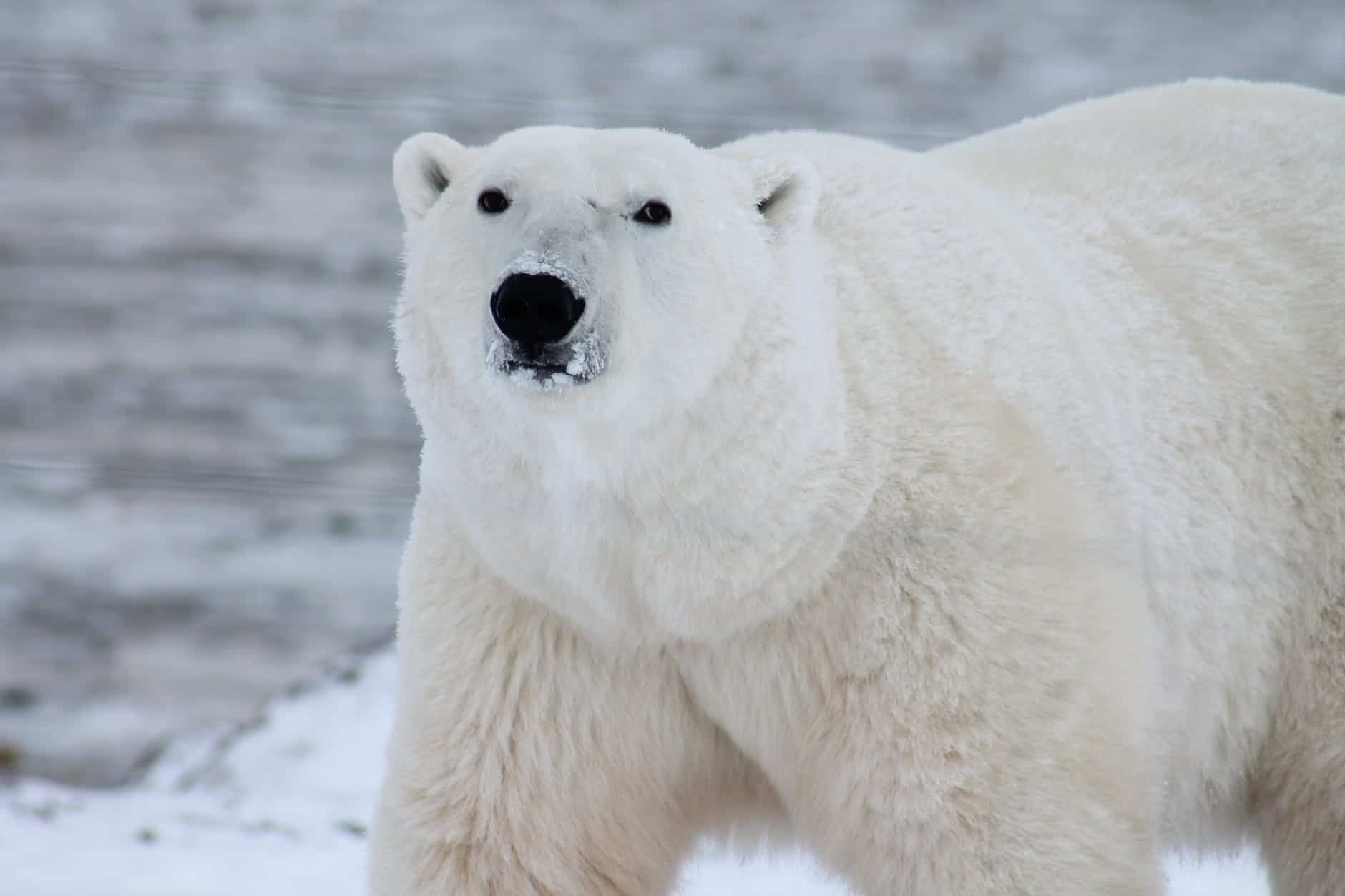 What are the interesting facts about Polar bear?