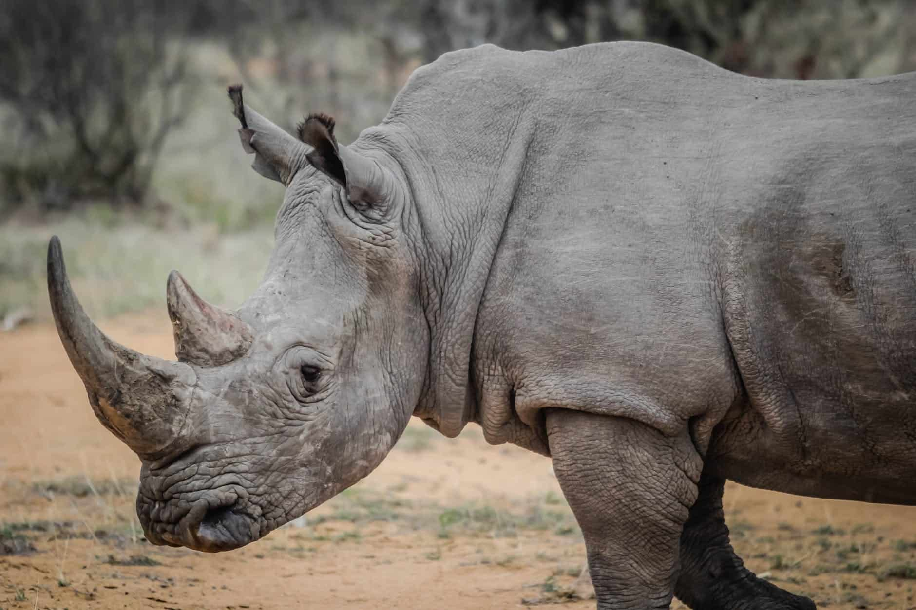 What are the interesting facts about Rhino?