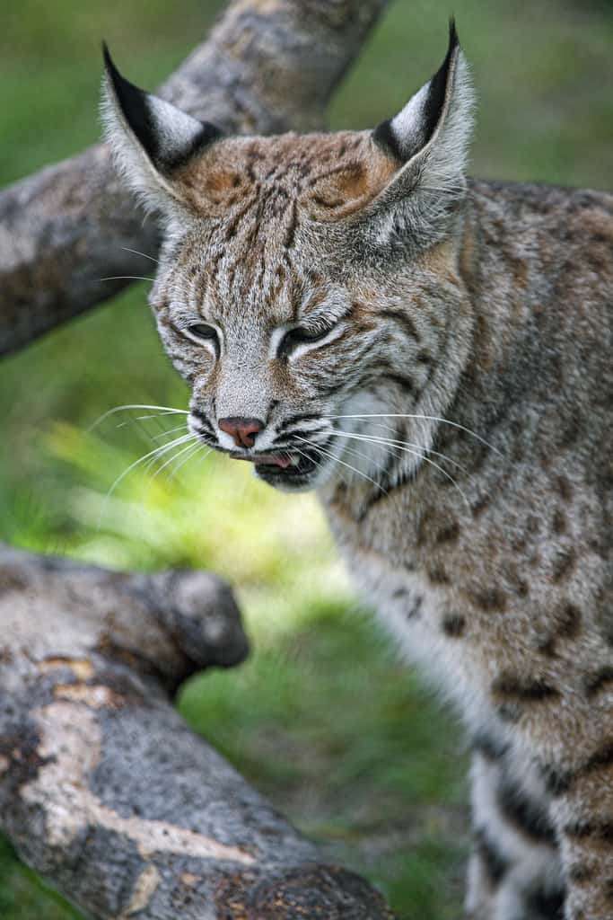 What does Bobcat eat?