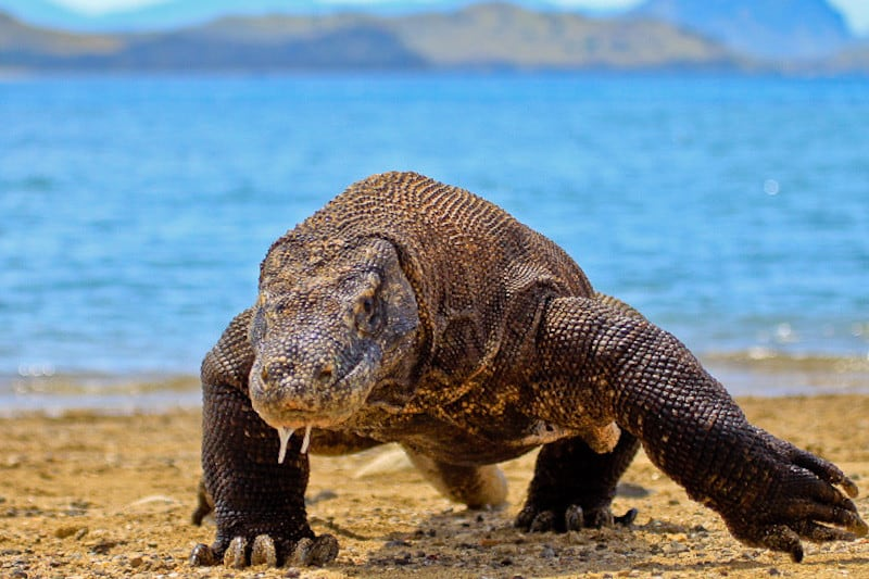 What does Komodo Dragon look like?