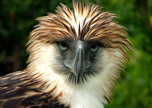 What does Philippine Eagle look like?