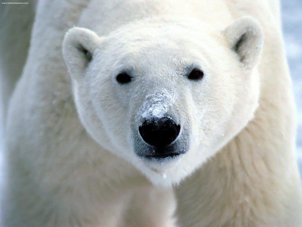What does Polar Bear look like?
