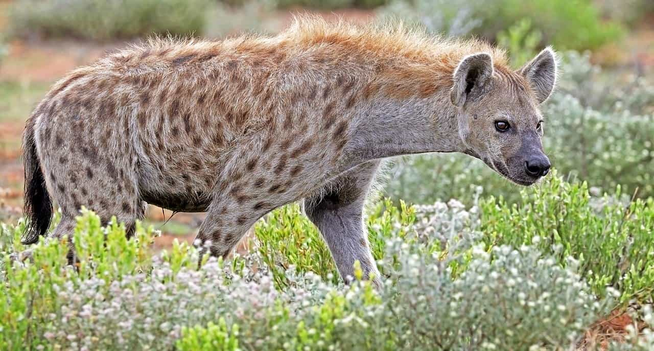 What is the length and weight of Hyena?