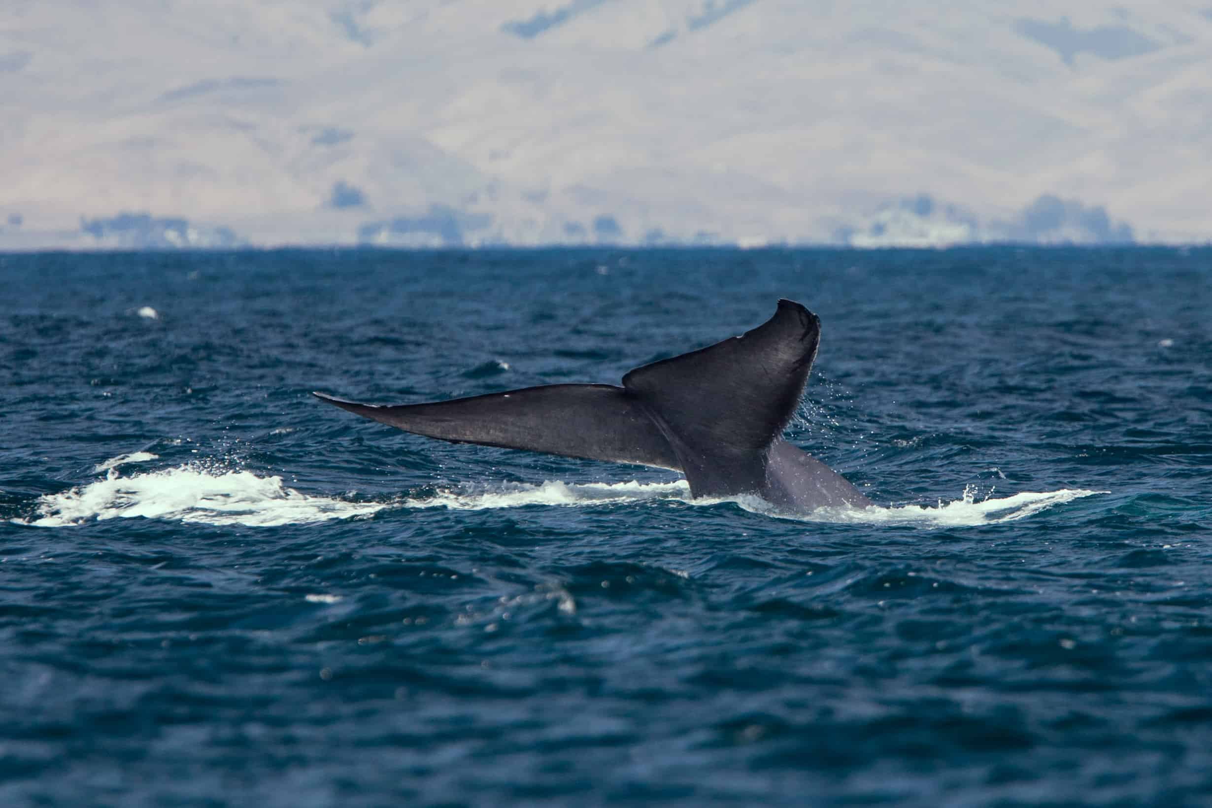 What-is-the-length-size-and-weight-of-Blue-whale
