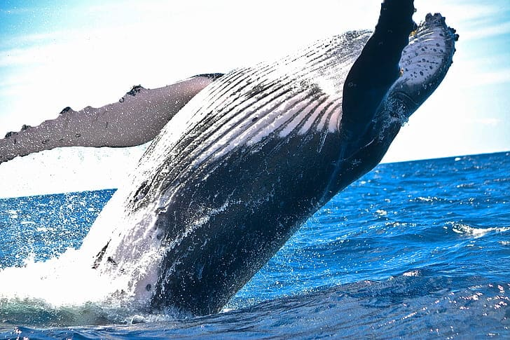 What is the length, size and weight of Humpback whale?