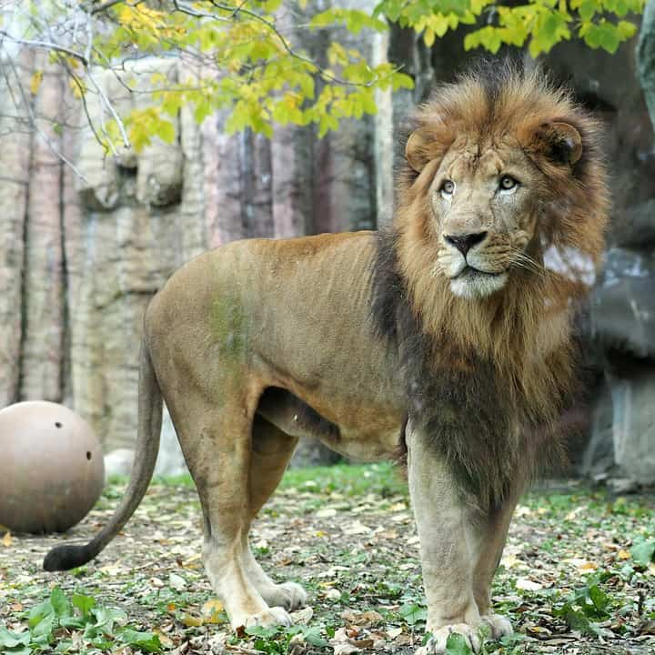 What is weight and height of African lion?