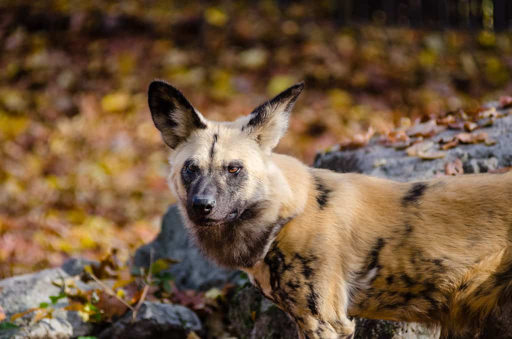 Where do African Wild Dogs live?