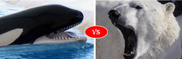 Killer whale vs Polar bear