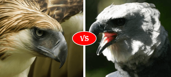 Philippine Eagle vs. Harpy Eagle
