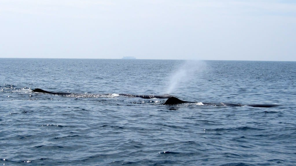 Is the Sperm Whale vulnerable?