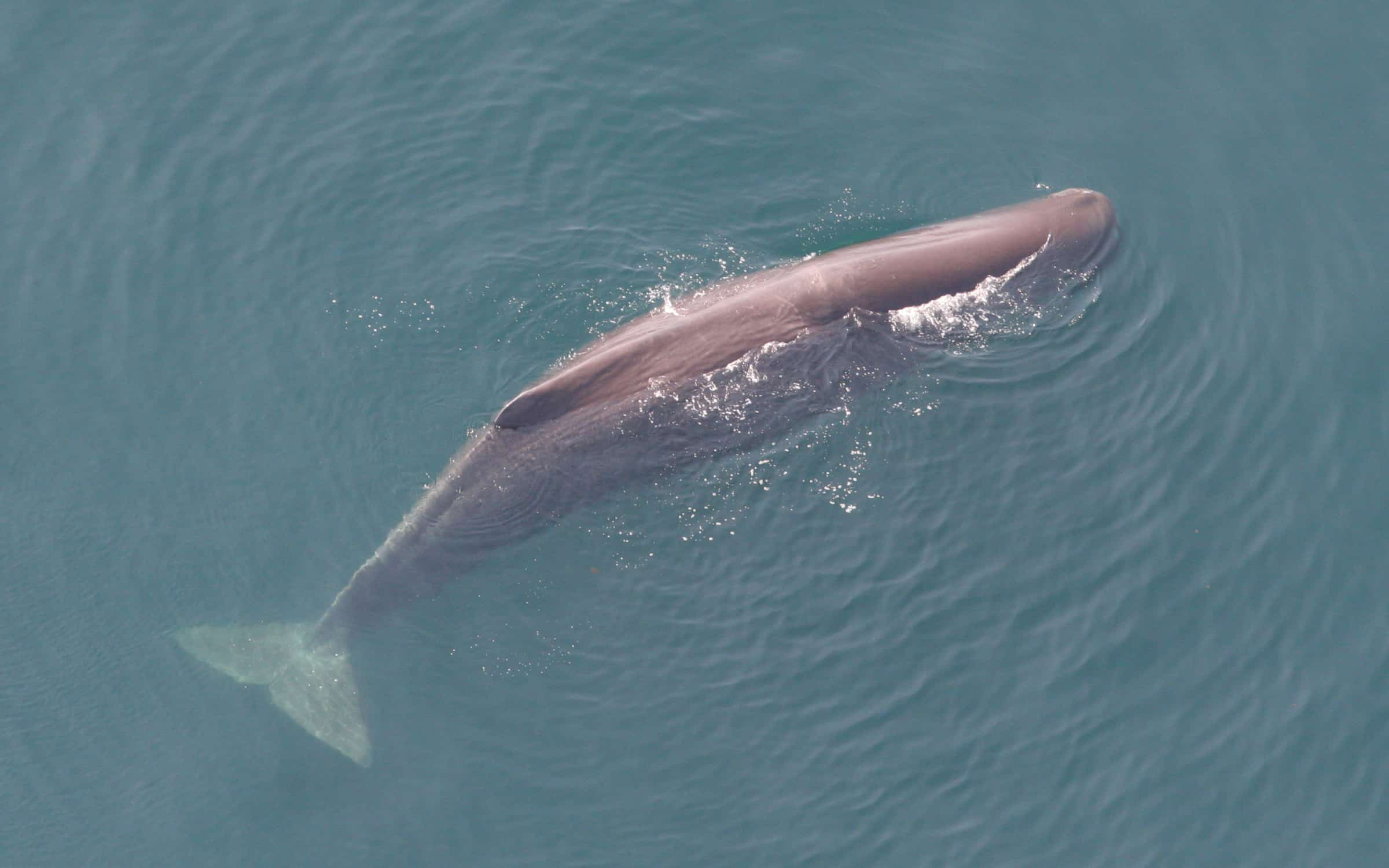 What is the size, weight and length of a Sperm Whale?