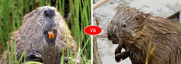 Beaver vs Muskrat