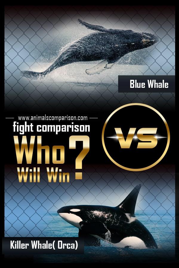 Blue Whale Vs Orca Killer whale