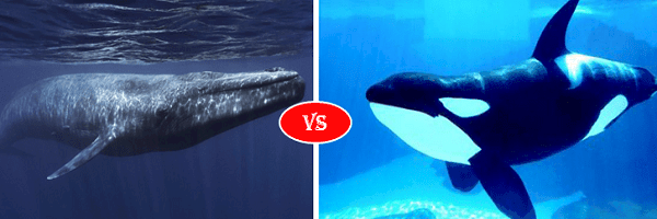 Blue whale vs Orca Killer whale