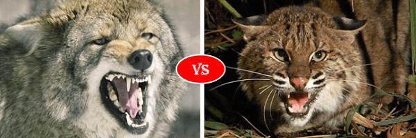 Coyote vs Bobcat
