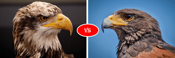 Eagle vs Hawk