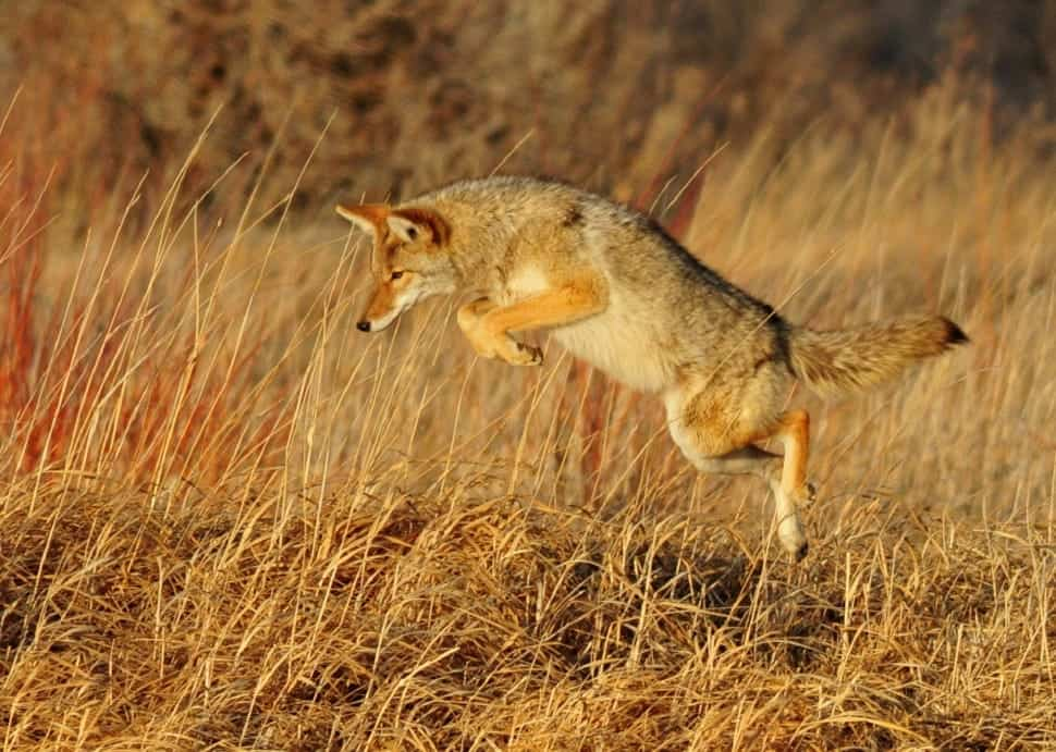 How Fast Coyote runs?