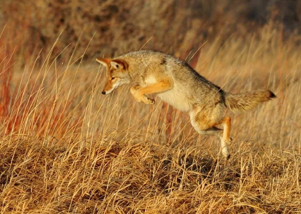 How Fast Coyote runs?