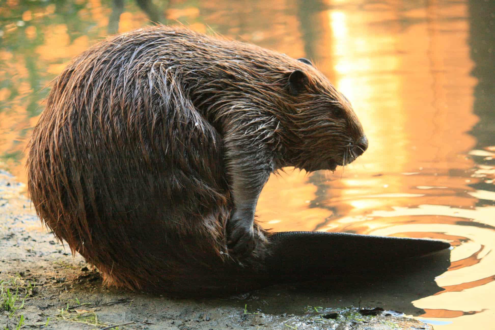 How big is a Beaver?