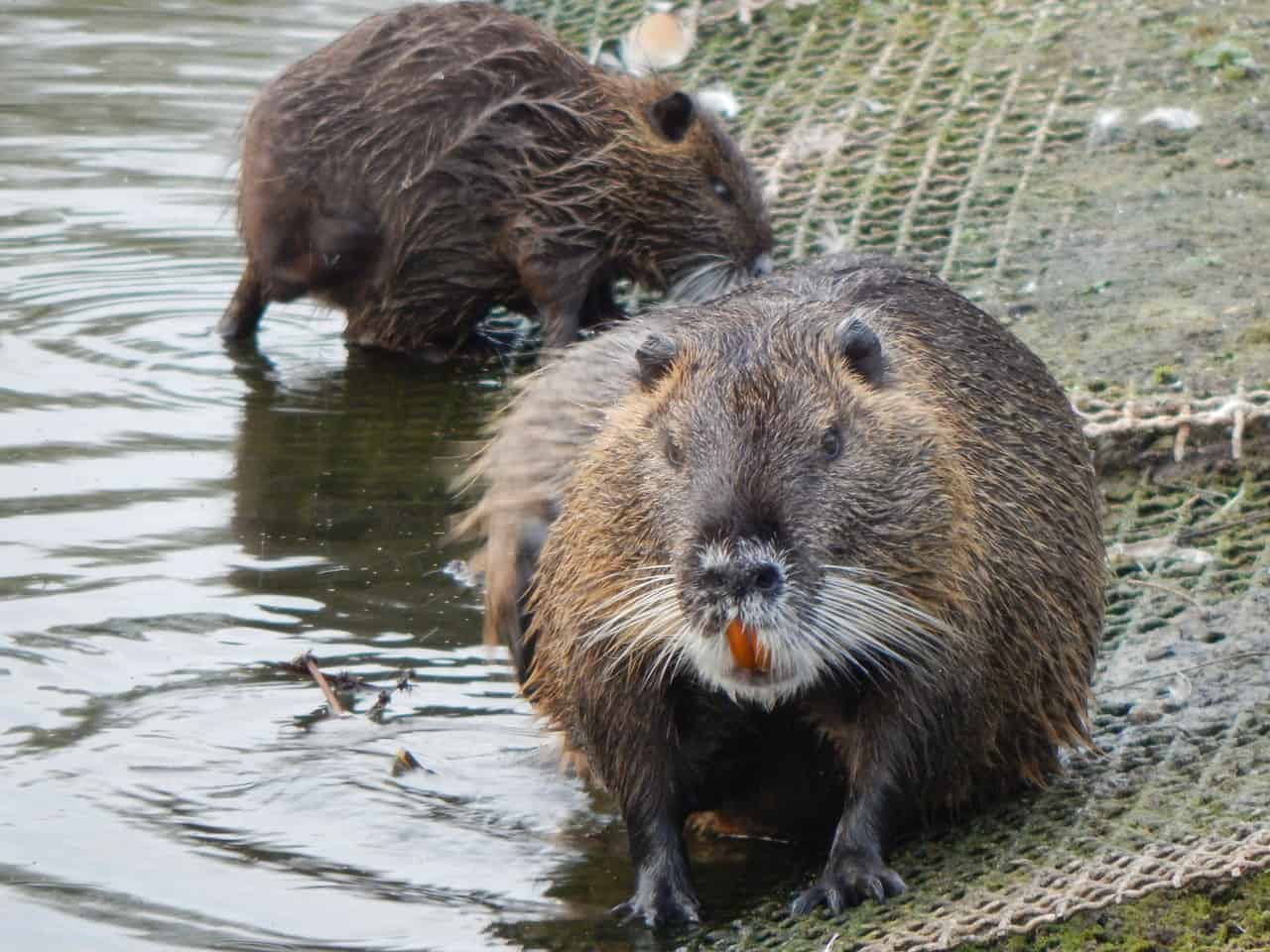 How big is a Muskrat?