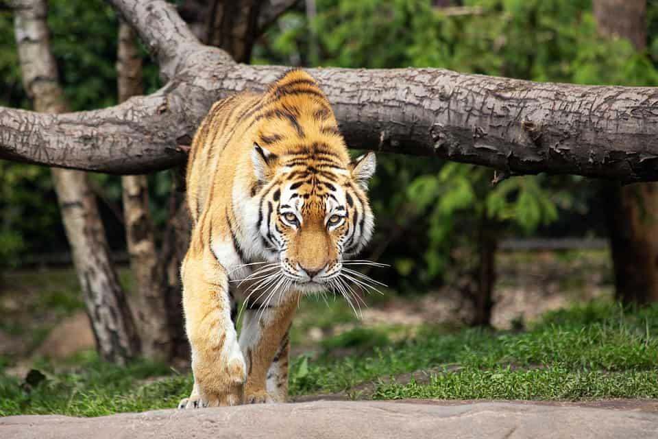 How big is a Siberian Tiger?